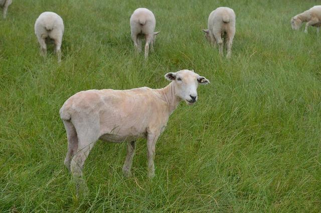 Sheep wool green.