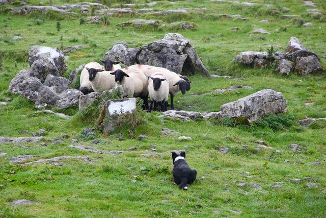 Sheepdog lambs sheep, animals.