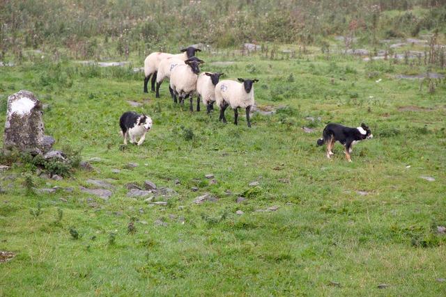 Sheepdogs sheep sheep-dog.