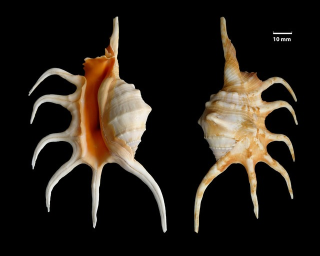 Shell knobbed conch lambis crocata.
