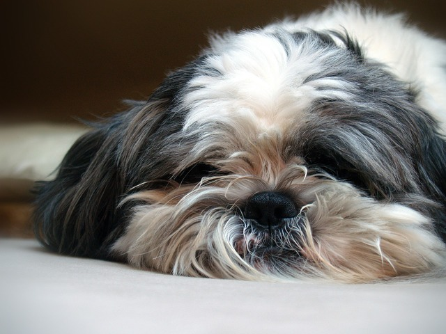 Shi cricket dog dog breed, animals.