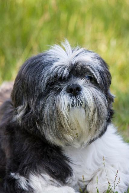 Shih tzu dog canine, animals.
