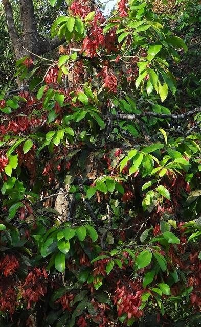 Shorea roxburghii taloora lac tree lac tree, nature landscapes.