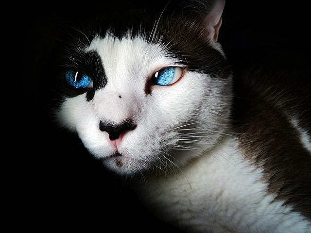 Siamese blue eyes cute, animals.