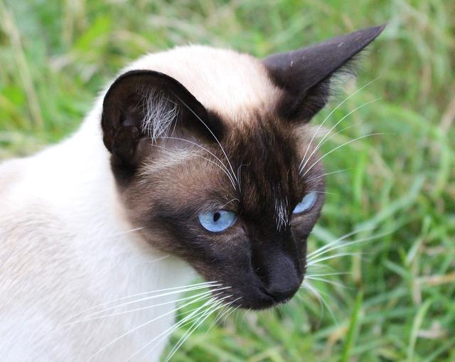 Siamese cat eyes cat, animals.