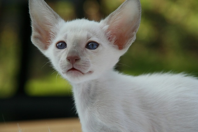 Siamese cat kitten cat, animals.