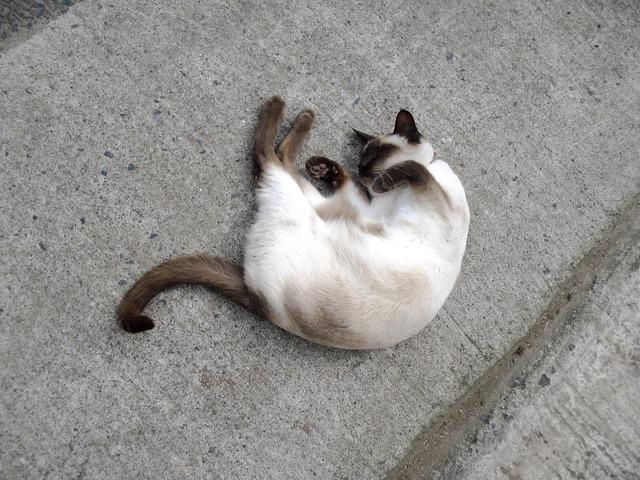 Siamese cat pet feline, animals.