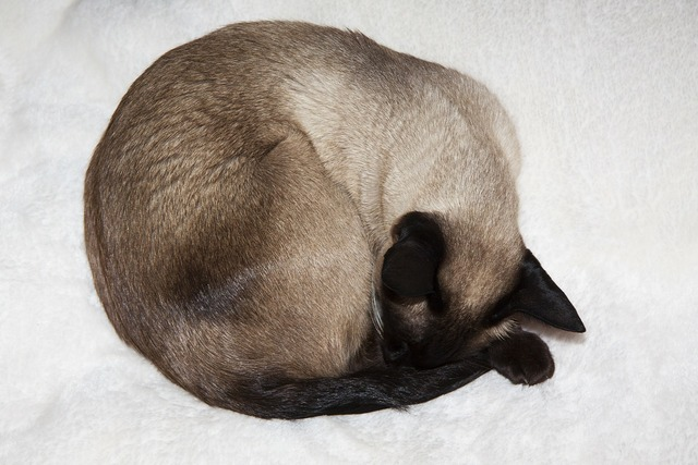 Siamese cat thai siam cat, animals.