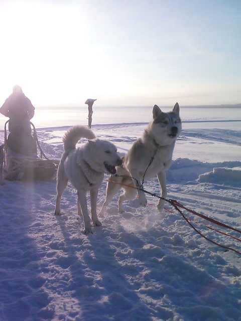Siberian husky dog, animals.