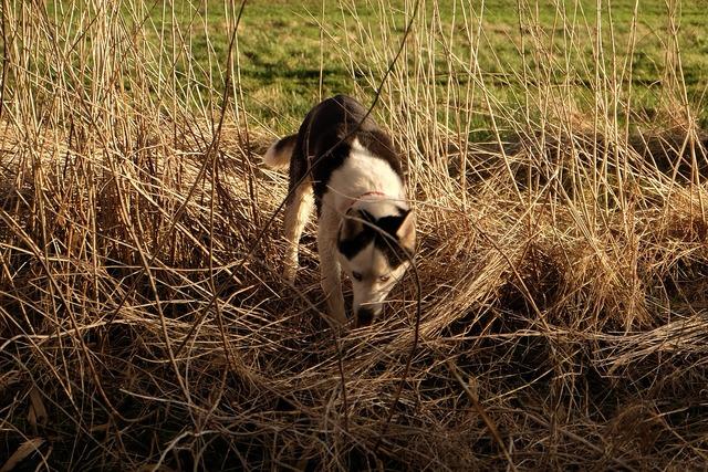 Siberian husky husky dog, animals.