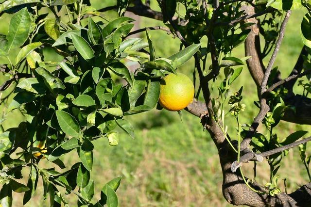 Sicily lemon fruit, food drink.
