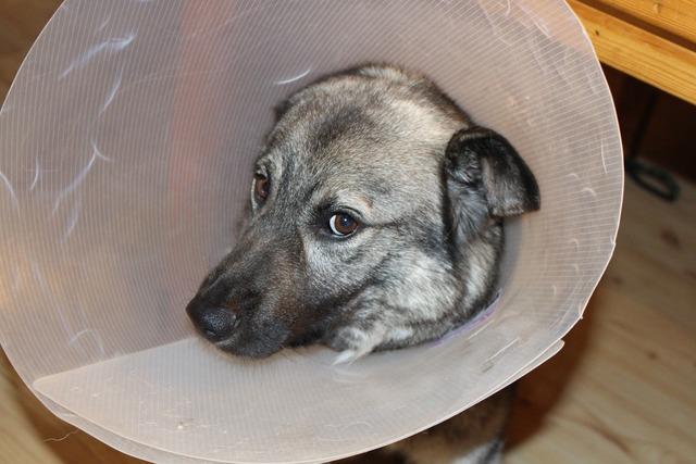 Sick dog elkhound funnel.