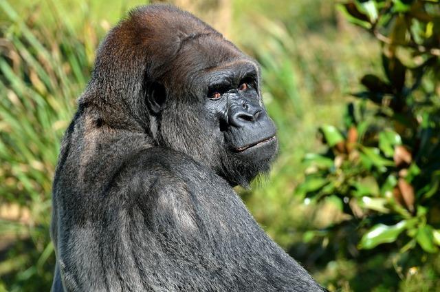Silver back gorilla animal, animals.