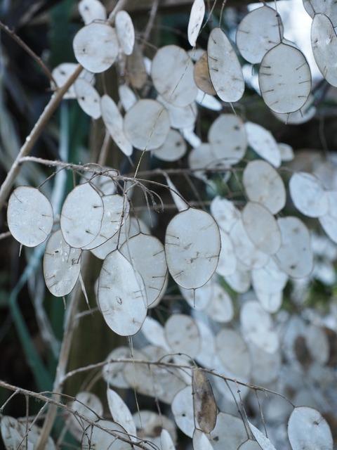 Silver leaf lunaria silberling, nature landscapes.