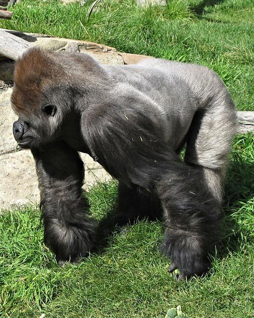 Silverback gorilla calgary, animals.