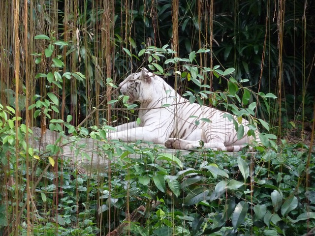 Singapore zoo white tiger singarpur, animals.