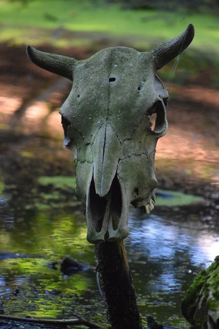Skull animal viking museum, animals.