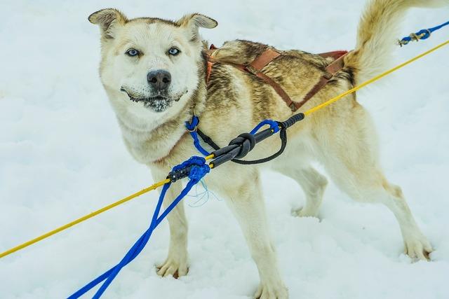 Sled dogs alaska dog sled, animals.