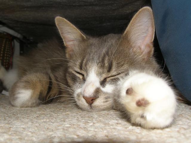 Sleeping cat kitten, animals.