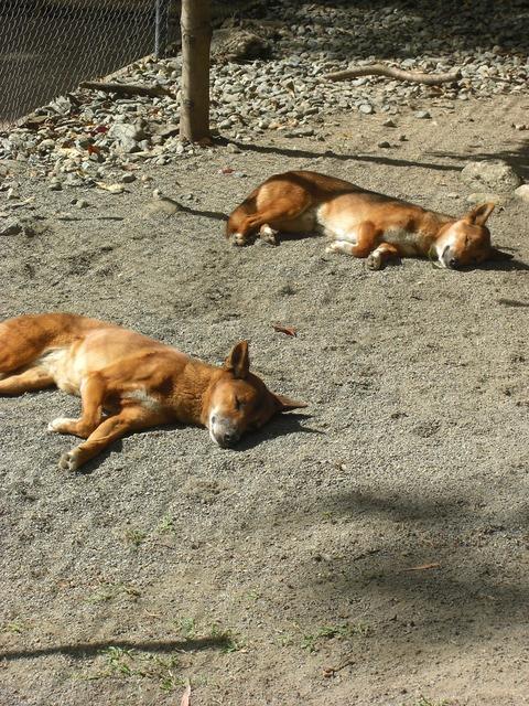 Sleeping dingo sleepy, animals.