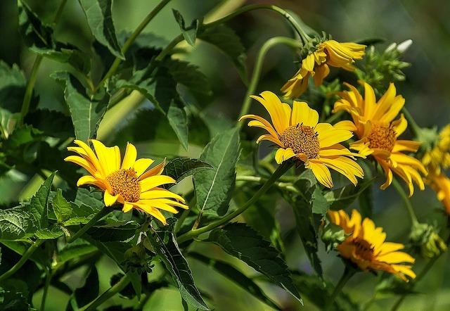 Słoneczniczek rough flower flora, nature landscapes.