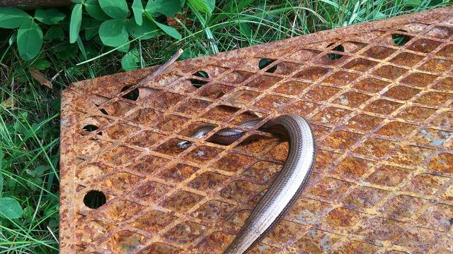 Slow worm lizard grid, animals.