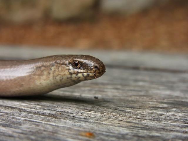 Slow worm reptile animal, animals.