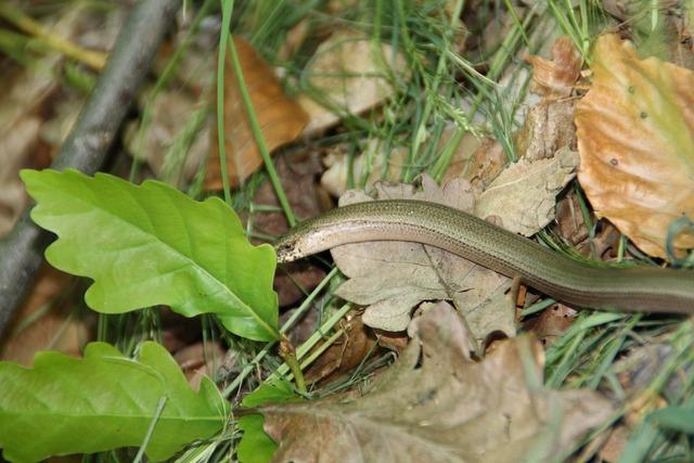 Slow worm snake animal, animals.