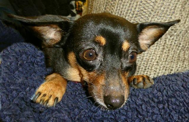 Small dog cute pinscher, animals.