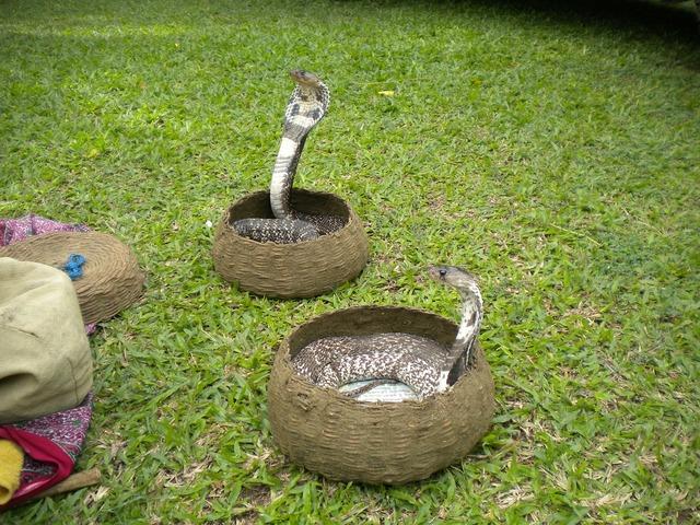 Snake charmer snake charmer, animals.