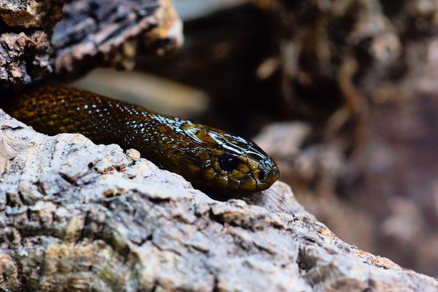 Snake inland taipan threatening, animals.