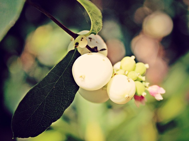 Snow berry knallerbse white.
