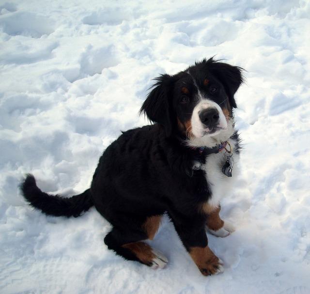 Snow dog berner sennen dog, animals.