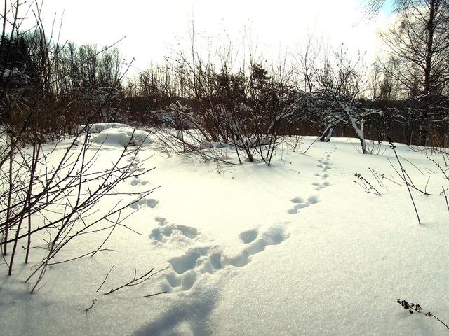 Snow rabbit hare tracks, nature landscapes.