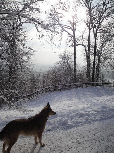 Snow wintry dog, animals.