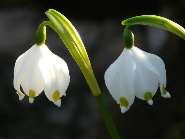 Snowflake spring flower blossom, nature landscapes.