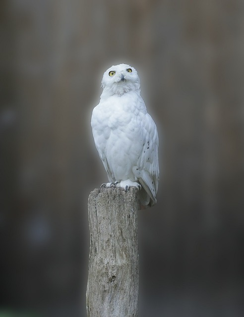 Snowy owl owl bird, animals.