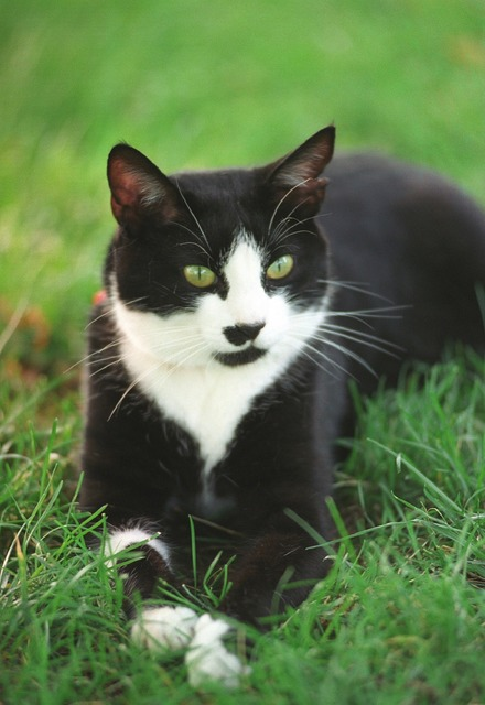 Socks the cat pet white house, animals.