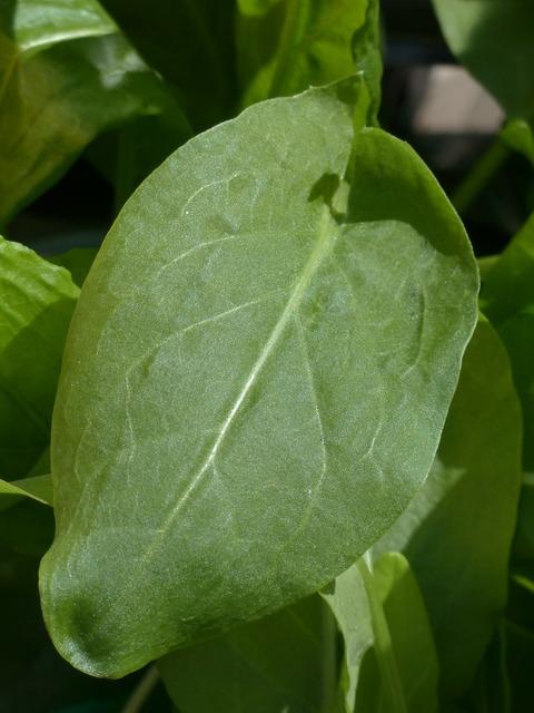 Sorrel kitchen herb plant, nature landscapes.