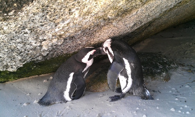South africa boulders beach penguin, travel vacation.