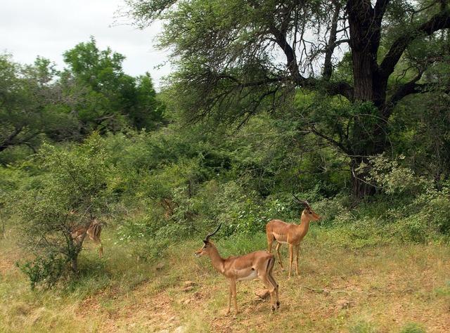 South africa cobs kruger park.