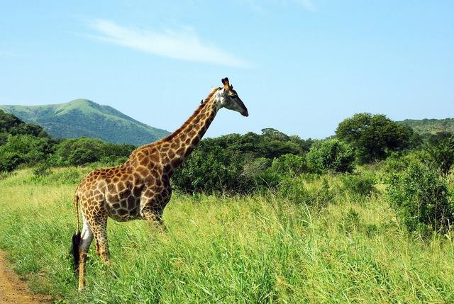South africa giraffe park.
