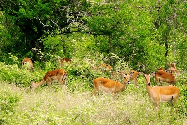 South africa kruger park impalas, animals.