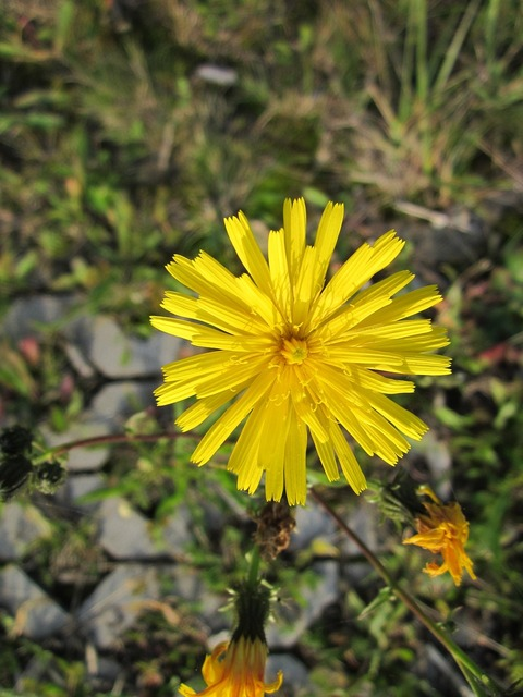 Sow thistle hare thistle hare lettuce, nature landscapes.