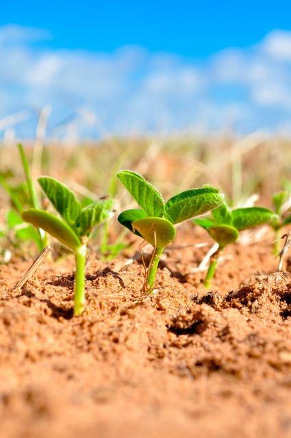 Soybeans agriculture plant, nature landscapes.