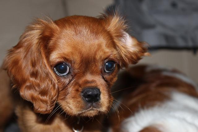 Spaniel cavalier dog, animals.