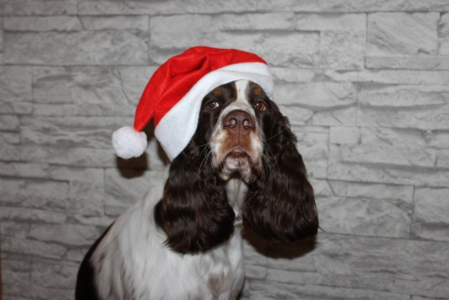 Spaniel dog christmas, animals.