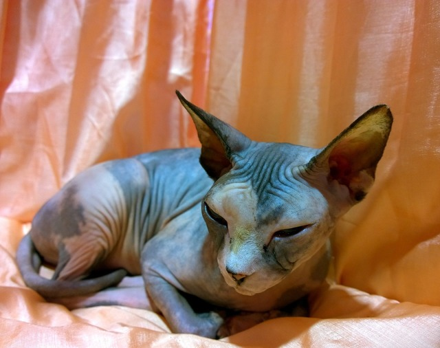 Sphynx cat resting hairless, animals.