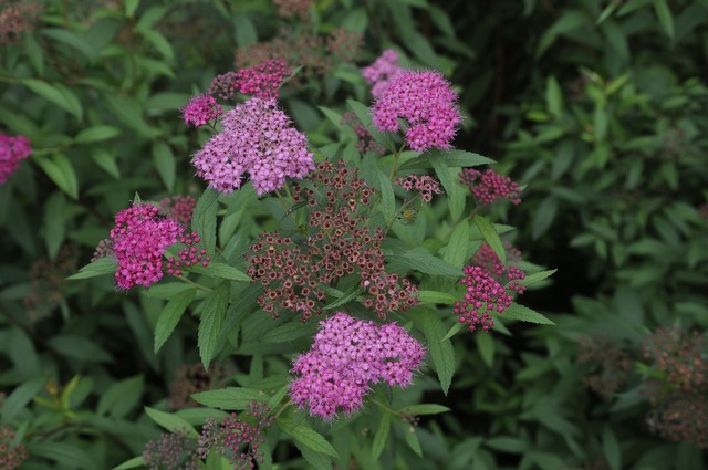Spiraea natural plant, nature landscapes.