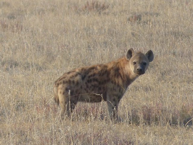 Spotted hyena hyena mammal, animals.